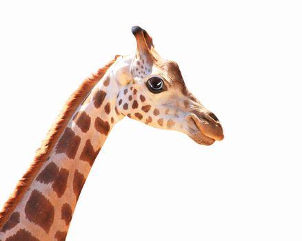 Muzzle fun spotted giraffe