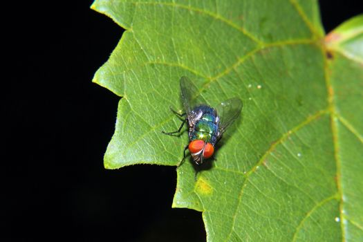 Brilliant Blue Bottle Fly