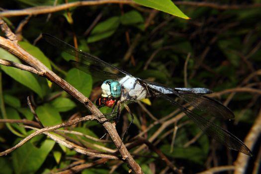 Blue Dragonfly feeding 2