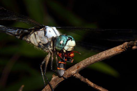 Feeding Blue Dragonfly