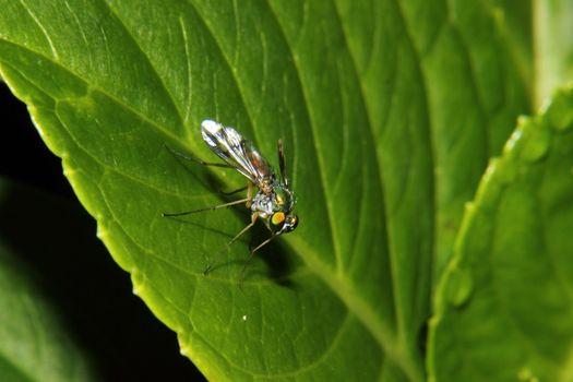 Metallic Bottle Fly