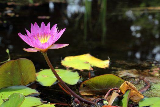 Beautiful Pink Water Lily 3