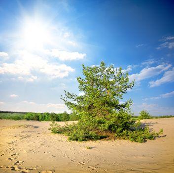 Pine tree in the desert
