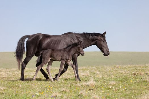 Mare with a foal go on a mountain pasture