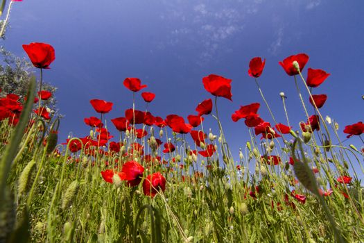 Beautiful view of a red poppy flower field in spring.