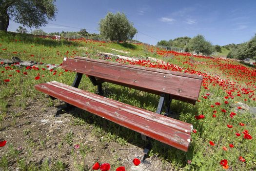 Beautiful view of a red poppy flower field in spring with a park bench.