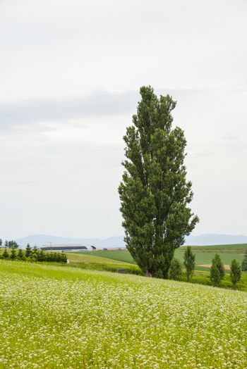 A poplar tree in the field of flower potato8
