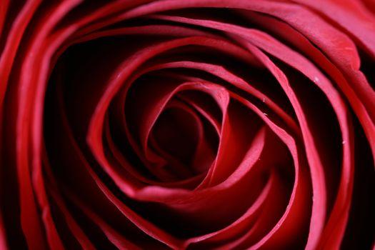 macro rose