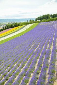 Colorful Lavender farm11