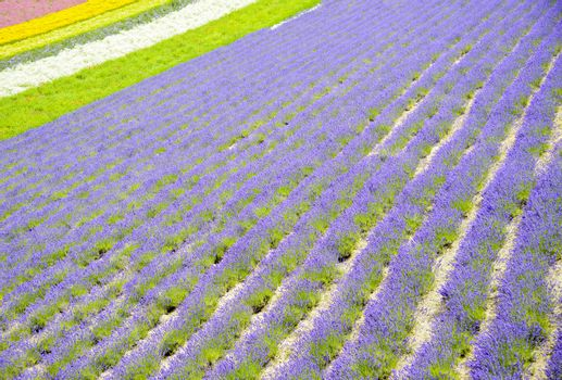 Colorful Lavender farm9