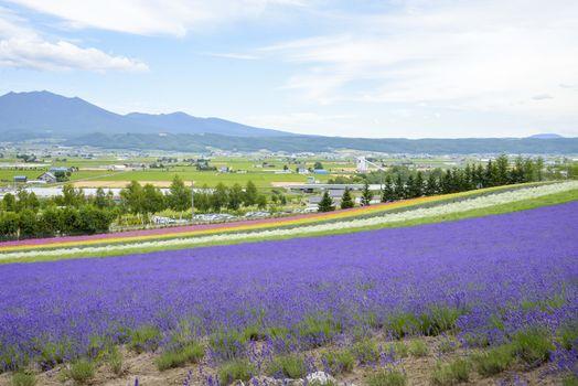 Colorful Lavender farm3