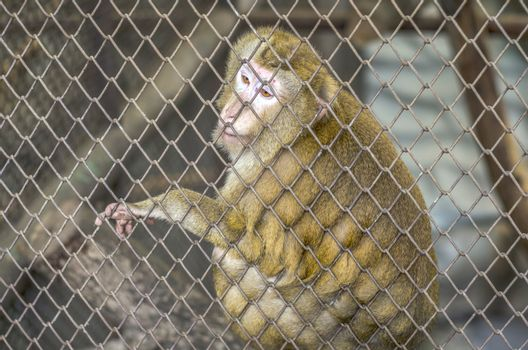 sad yellow monkey in cage in Thailand zoo
