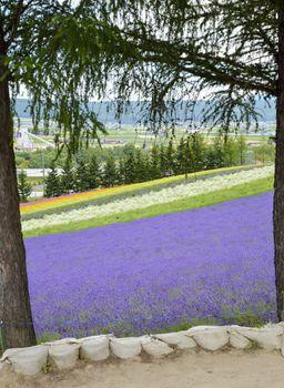 Colorful Lavender farm1