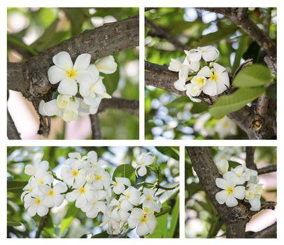 beautiful Frangipani flowers on tree