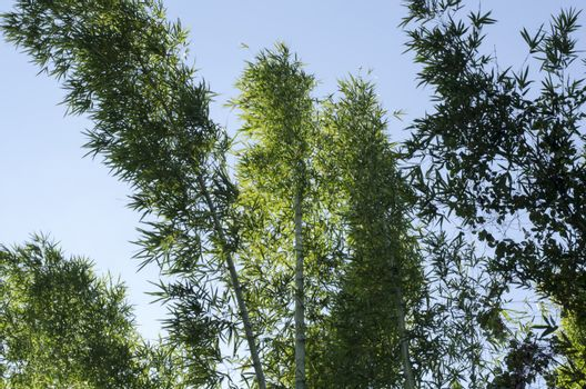 nature bamboo in forest on blue sky background