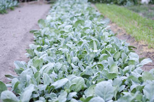 garden of mini kale in country