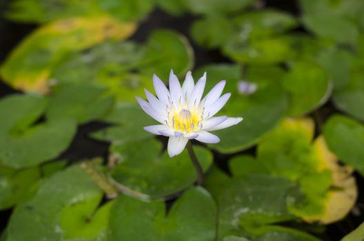 beautiful lotus on lotus leaves and water
