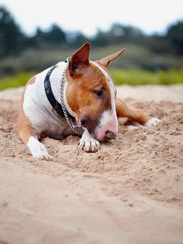 Bull terrier lies on sand.