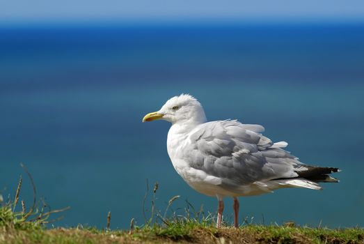 Seagull on blue background