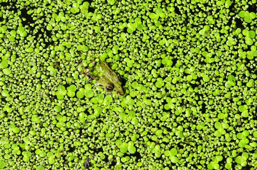 green frog coverd by duckweed