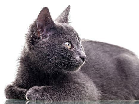 Chatreaux kitten close up portrait. Studio shot. Isolated on white background.