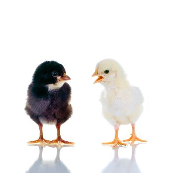 Photo of two cute baby chicks, with reflection, over white background. Studio shot.