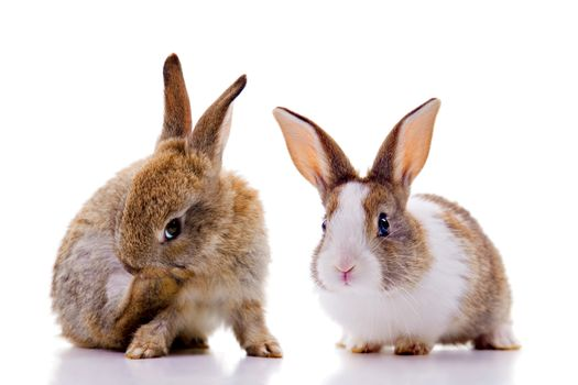 Two bunnies, looking at the camera. Isolated on white.