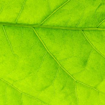 Fresh dreen leaf texture macro close-up