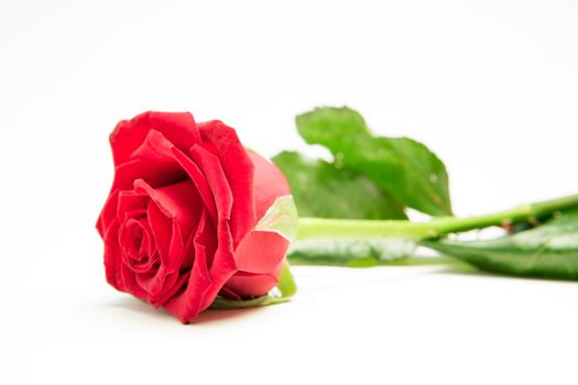 Red rose with stalk and leaves lying on surface