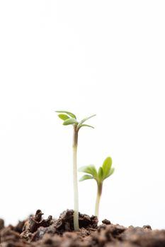 Seedlings in dirt