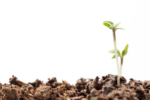 Two seedlings in dirt
