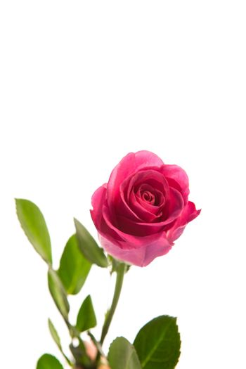 Pink rose in bloom with stalk
