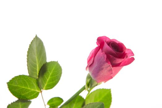 Pink rose with stalk and leaves