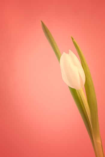 White tulip on a red background close up