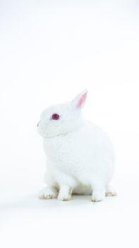 Fluffy white rabbit