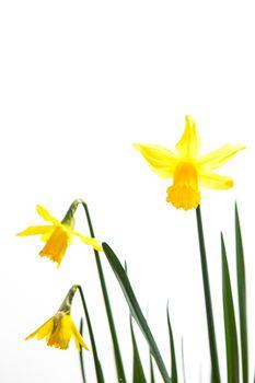 Yellow daffodils growing