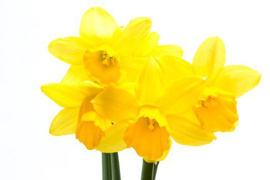 Pretty yellow daffodils