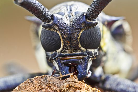 insect mulberry borer longhorn beetle