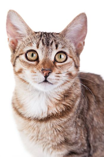 Photo of a brown striped kitten isolated on white background. Studio shot.