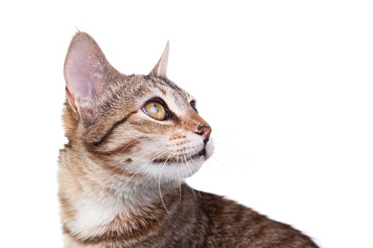 Close-up photo of a brown striped kitten isolated on white background. Studio shot.