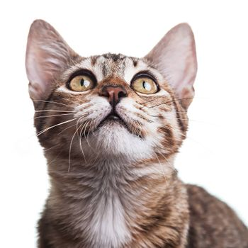 Close-up photo of a brown striped kitten looking up, isolated on white background. Studio shot. Shallow depth of field. Focus on eyes. Extreme close-up.