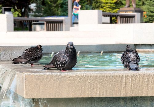 Pigeons in the fountain
