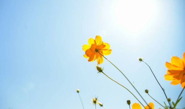 Yellow Cosmos flower with sunshine5