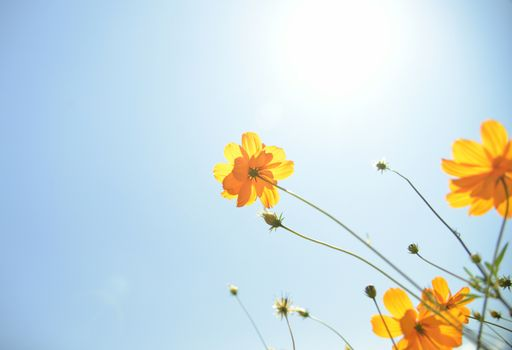 Yellow Cosmos flower with sunshine4