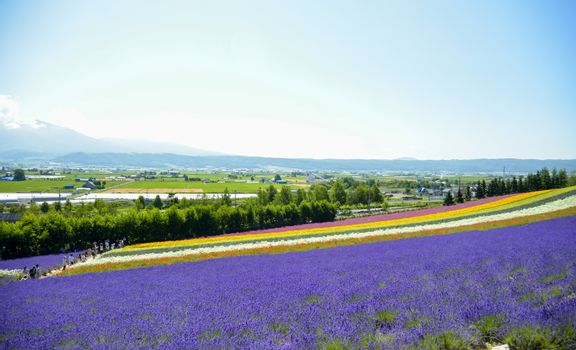 Lavender and colorful flower in the field8