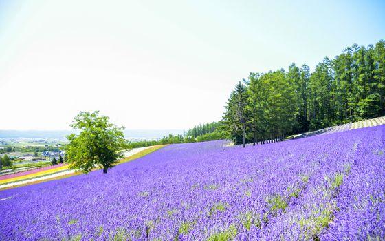 Lavender flower in the farm