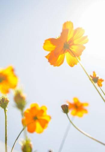 Yellow Cosmos flower with sunshine2