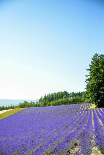 Lavender flower in the row1
