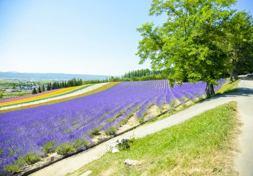 Lavender and colorful flower in the field2