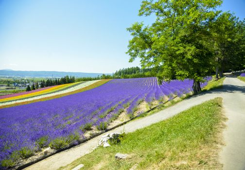 Lavender and colorful flower in the field1